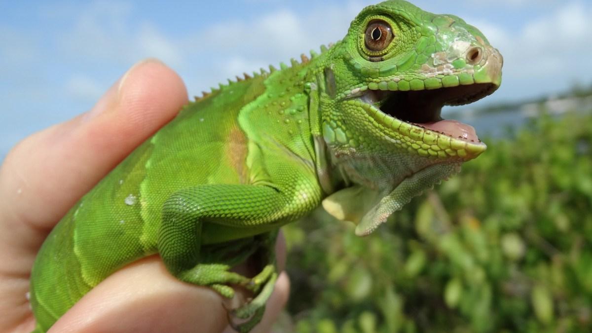 alert iguana